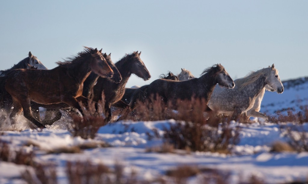 Snow Horses running as a group