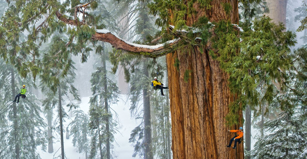 Giant Sequoia Tree with Researchers climbing